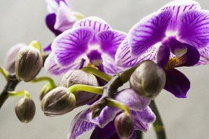 Орхидея Сбрасывает Цветы