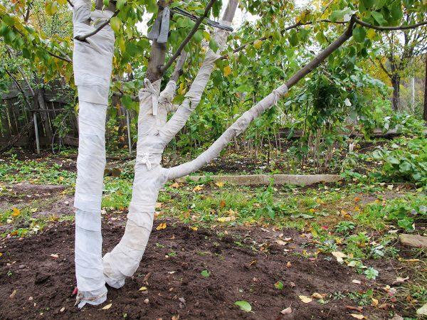 подготовка яблони к зиме на урале