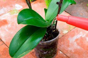 poliv-orhidei