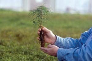 Как и когда можно посадить сосну