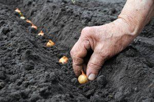Когда сажать лук севок в открытый грунт