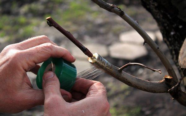 прививка яблони