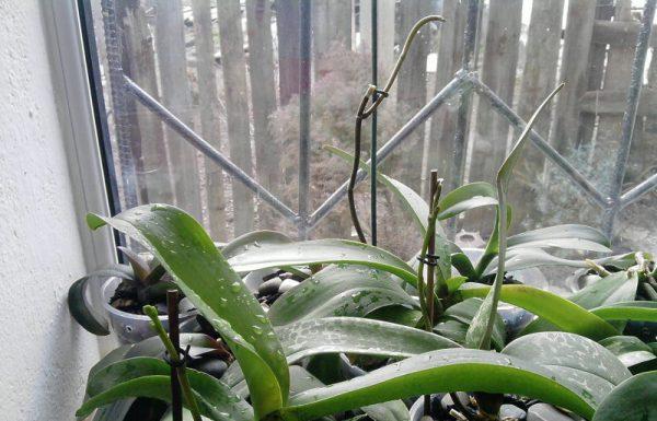 Цветонос У Орхидеи
