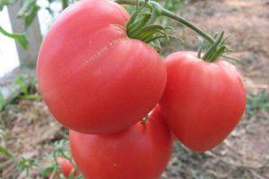 Красивые томаты