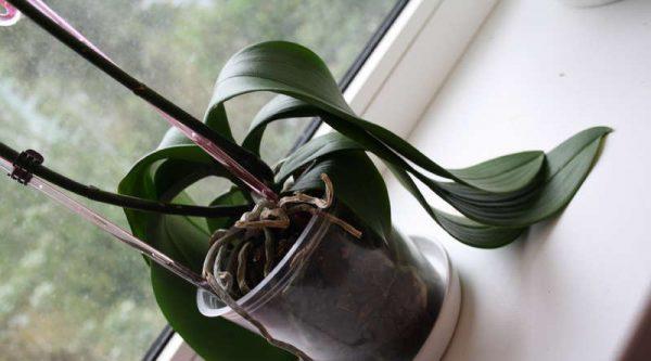 У Орхидеи Фаленопсис Вянут Листья
