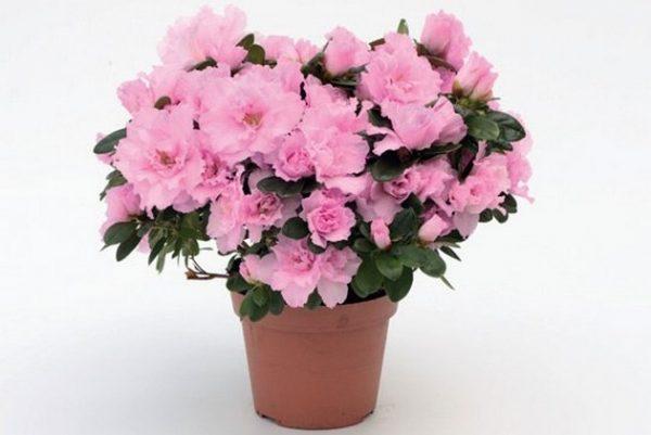 среди домашних растений Алазия очищает воздух