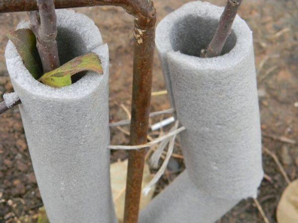 Как правильно укрывать яблоню на зиму