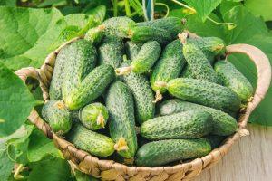 Семена огурцов: самые урожайные сорта