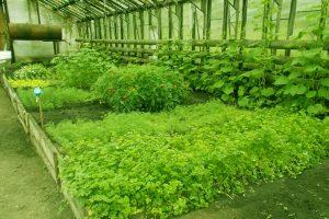 выращивание кинзы в теплице