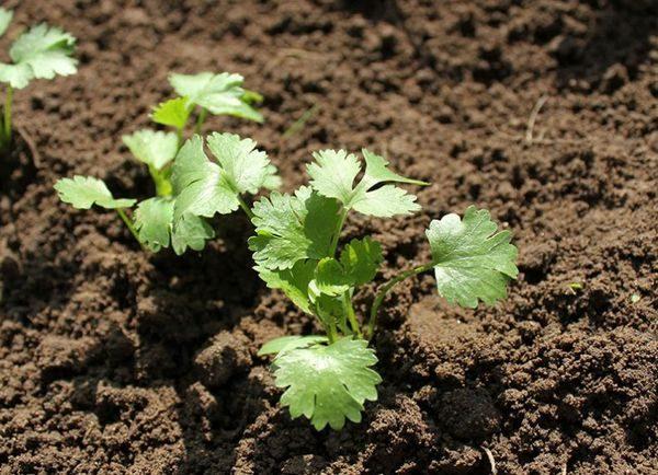 выращивание кинзы в теплице зимой
