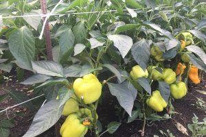 особенности выращивания перца на Урале